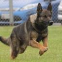 Police Service Dogs @ Lake Fairfax