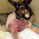 UPDATE: Kota, the local Winchester Virginia Police K9 who broke his leg after falling through a ceiling is now home! Kota went after a suspect in an attic space and while dragging him out fell through the ceiling. Kota could hear the police officers were still trying to detain the suspect and, with a broken leg, crawled back upstairs to continue his job. Kota is expected to make a full recovery