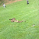 Just another everyday occurrence on the golf course